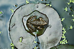 Frog. On the water lily leaf taken from above Royalty Free Stock Image