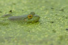 Frog. A wild frog floats in an algea-covered pond Stock Photography