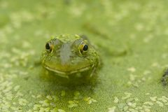 Frog. A wild frog floats in an algea-covered pond royalty free stock image