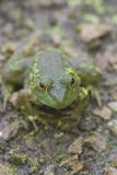 Frog. A wild frog sits at the edge of a pond royalty free stock images