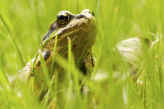 Frog. Green frog in the grass Stock Photography