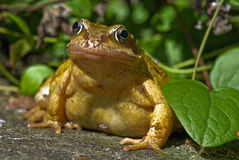 Frog Royalty Free Stock Photos