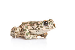 A frog Stock Image