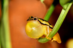 Frog. A yellow male frog, trying to attract females stock image