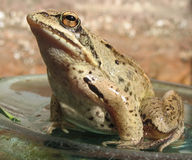 Frog. European frog sitting on a brown background Stock Images