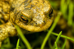 Frog. With orange eyes in natural environment royalty free stock photos