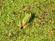 Frog. Green frog in the duckweed Stock Photo