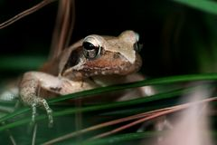 Frog. A frog hidden in the grass Stock Images