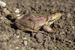 Frog. The green frog sits on the ground Stock Image