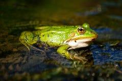 Free Frog Stock Photo - 12867100