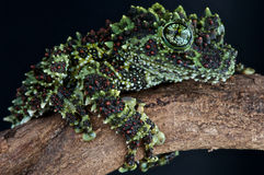 Frog. The Vietnamese mossfrog,Theloderma bicolor, is a rare, but beautiful frog species from high altitude Vietnamese rainforest Royalty Free Stock Photos