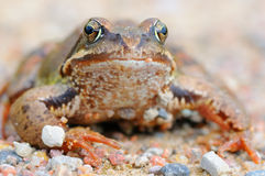 Frog. Big frog on nature background Royalty Free Stock Photography