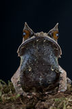 Frog. The Horned frog, Megophrys nasuta, is an inhabitant of the South East Asian rainforest. It bizar form looks from the top as an dead leaf and acts as an Royalty Free Stock Photos