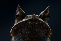 Frog. The Horned frog, Megophrys nasuta, is an inhabitant of the South East Asian rainforest. It bizar form looks from the top as an dead leaf and acts as an Royalty Free Stock Image