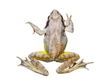 Frog 14 Royalty Free Stock Image