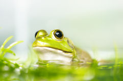 Frog. Close up frog in a pond, shallow depth of field Royalty Free Stock Images