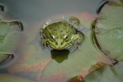 The frog Stock Images