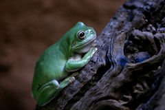 Frog. Green Frog shot with Tamron 90mm Royalty Free Stock Image