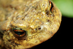 Frog. With orange eyes in natural environment Stock Images