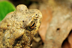 Frog. With orange eyes in natural environment Stock Photo