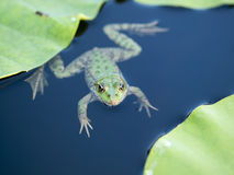 Free Frog Royalty Free Stock Photo - 15264915
