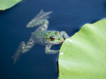 Frog. Close up frog in a pond Royalty Free Stock Images