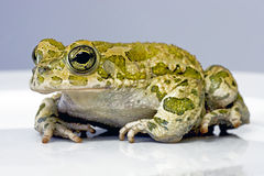 Frog. A nice frog taken in a studio Stock Photos
