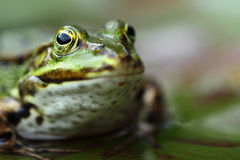 Frog. A frog is sitting in a pond Royalty Free Stock Photo