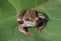 Frog. Royalty Free Stock Photography
