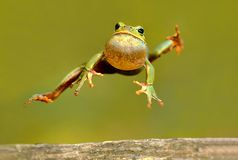 Frog. In a jump on a green background Stock Photos
