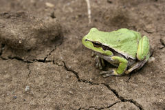 Frog. Small green frog on a dry ground Stock Photo