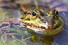 Frog. Is sitting in a pond and watching Royalty Free Stock Photo