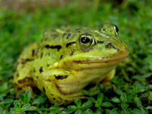 Frog. Green frog Stock Photos