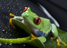 Frog. Small animal with smooth skin and long legs that are used for jumping. s live in or near water. The Agalychnis callidryas, commonly know as the Red-eyed Stock Images