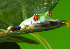Free Frog Stock Photography - 1820452