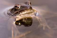 The frog Royalty Free Stock Photography