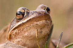 The frog Stock Photography