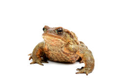 Frog. Old ,fat,ugly frog,isolated on white background Royalty Free Stock Image