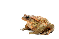 Frog. Old ,fat,ugly frog,isolated on white background Stock Photo