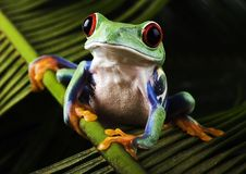 Free Frog Royalty Free Stock Images - 1940429