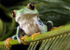 Frog. Small animal with smooth skin and long legs that are used for jumping. s live in or near water. / The Agalychnis callidryas, commonly know as the Red Stock Photography