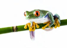Frog. Small animal with smooth skin and long legs that are used for jumping. s live in or near water. / The Agalychnis callidryas, commonly know as the Red Royalty Free Stock Photos