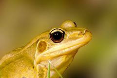 A frog Royalty Free Stock Photos