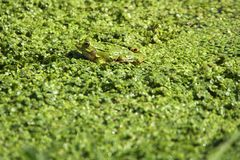 Frog 2 Royalty Free Stock Images