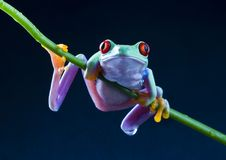Free Frog Stock Photography - 2033542
