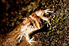 A frog Royalty Free Stock Images