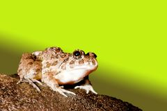 A frog Royalty Free Stock Image