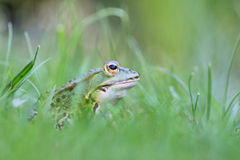 Frog. A frog is sitting in grasses stock image