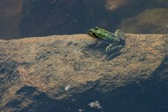 Frog. In a pond Royalty Free Stock Photography