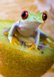 Frog. Small animal with smooth skin and long legs that are used for jumping. s live in or near water. / The Agalychnis callidryas, commonly know as the Red Stock Photo